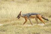 picture of jackal  - A black - JPG