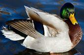 Mallard Duck Resting On The Water
