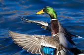 Mallard Duck On The Water With Outstretched Wings