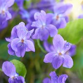 pic of viola  - Viola flowers on the green sunny field - JPG