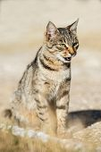 foto of yellow tabby  - Gray striped cat with yellow eyes sitting on green grass - JPG