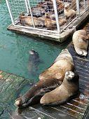 California Sea Lions On Wharf