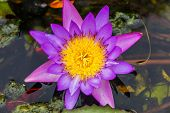 Purple Lotus Or Purple Water Lily In Pond
