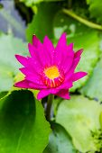 Purple Lotus Or Purple Water Lily In Pond.