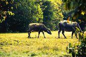 image of carabao  - asia buffalo in grass field at thailand - JPG