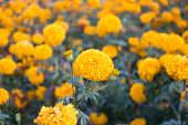 Yellow marigolds in the garden