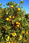 stock photo of florida-orange  - Orange tree landscape in central Florida of the southern United States - JPG