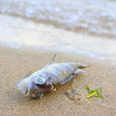 Dead fish (Perca fluviatilis) on the beach. Water pollution concept. Picture with shallow DOF.