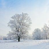 Solitary Trees In Winter Landscape.