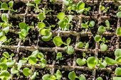 image of petunia  - Petunia seedlings growing in a styofoam tray - JPG