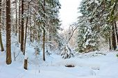 Impassable Places In The Snowy Winter Forest