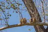 Joao de Barro bird and nest, Rufous hornero