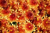 Orange Chrysanthemum Background