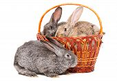 Rabbits sitting in a basket