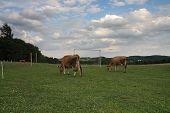 Cows Grazing On A Summer Pasture Betwen Football Goal