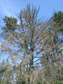 Withered spruce tree
