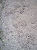 foto of ferrets  - Ferret traces on morning sandy soil in park - JPG