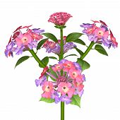 image of lantana  - Lantana is a genus of about 150 species of perennial flowering plants in the verbena family - JPG