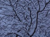 Tree Branches Piled With Snow