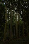 Maui Gum Trees