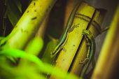 Two Green Lizard On Bamboo