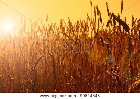 Gold wheat field, sunset