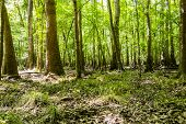 stock photo of swamps  - cypress forest and swamp of Congaree National Park in South Carolina - JPG