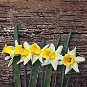 picture of daffodils  - Flowers yellow daffodils on a wooden vintage background - JPG