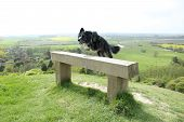 picture of border collie  - Border collie jumping over a lone bench - JPG