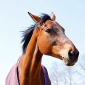 pic of horse-breeding  - Beautiful chestnut or light bay horse portrait showing head and neck and part of body - JPG