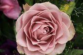image of purple rose  - Purple rose in close up - JPG