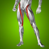 pic of human muscle  - Concept or conceptual 3D human upper leg anatomy or anatomical and muscle on green gradient background - JPG