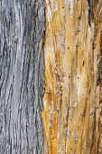 Pine Bark Background Texture