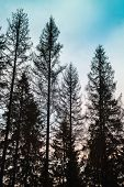 Постер, плакат: Old Spruce Trees Black Silhouettes Over Cloudy Sky