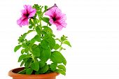 image of petunia  - Beautiful pink petunia in flowerpot - JPG