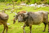 picture of yaks  - Herd of Yaks in Nepal eating grass - JPG