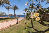 image of frangipani  - The white frangipani flowers with leaves close up and buds of flowers over background of the Red sea - JPG