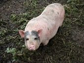 image of pig-breeding  - pig behind the fence looking for food view from the swine farm - JPG