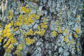 foto of lichenes  - Tree bark with yellow lichens - JPG