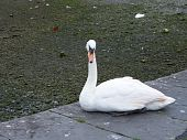 image of claddagh  - A swan sitting on a ledge in The Claddagh - JPG