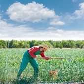stock photo of orchard  - Farmer man working in onion orchard field with hoe tool - JPG
