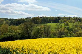 image of rape-field  - Peaceful Cotswolds landscape rapeseed Field and woodland - JPG