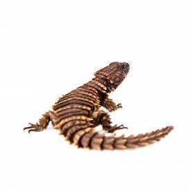 stock photo of girdles  - The armadillo girdled lizard - JPG