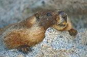 Marmot Flat Close