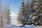 Постер, плакат: Snow covered trees in winter mountains