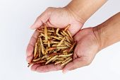 Постер, плакат: Thai Insects Fried insects mealworms for snack in hand