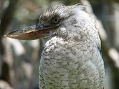 stock photo of blue winged kookaburra  - the blue winged kookaburra is easy to spot in trees as it is so noisy - JPG