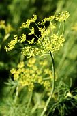 Blooming Fennel