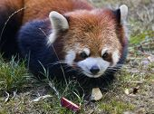 Red Panda Shining Cat