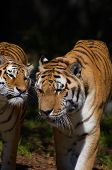 Frindly Tiger Couple